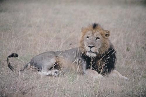 Uganda - QENP Male Lion Relaxing
