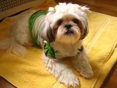 Yellow towel.jpg (Chiptography) Tags: dog marzipan maltzu