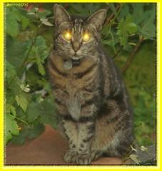 "Nachbars Katze im ""Blitzlichtgewitter"" - cat and photoflash"