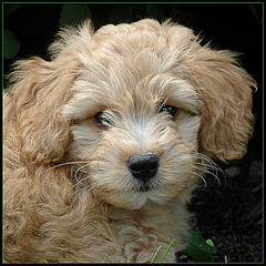 Oliver-Goldendoodle- 9 wks. (dog ma) Tags: dog pet cute animal oliver adorable goldendoodle