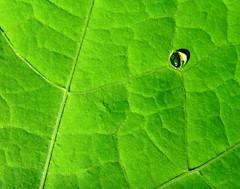Spy eye (michaelab311) Tags: green eye waterdrop searchthebest drop minimal single spy lonely grn minimalism soe frogeye raindrop excellence iloveit themoulinrouge naturesfinest supershot 25faves abigfave artlibre anawesomeshot impressedbeauty aplusphoto flickrjobdiff diamondclassphotographer