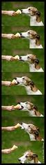 Frankie_IceCream (myhorse) Tags: dog greyhound frankie icecream thelittledoglaughed