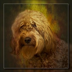Lady Doodles McFester (Lord Muttley McFester) Tags: dog female painting ginger bitch doodles toned wacom cockapoo textured spoodles crossbread photoshopcs5 ladydoodlesmcfester spoodel