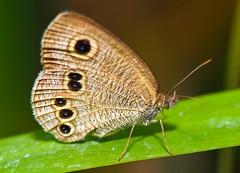 Ypthima Masakii In Profile (aeschylus18917) Tags: macro nature japan butterfly insect nikon g lepidoptera micro  txt saitama nikkor f28 vr hanno pxt saitamaken koma 105mm insecta  105mmf28 nymphalidae  satyrinae ypthima 105mmf28gvrmicro saitamaprefecture rhopalocera d700 nikkor105mmf28gvrmicro  danielruyle aeschylus18917 danruyle druyle   ypthimamasakii  hann hannshi