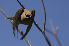 Cedar Waxwing (Bombycilla cedrorum) at take off (Tom in Tacoma) Tags: bird birds canon branches top20nature cedarwaxwing birdwatcher canon40d justgeotaggedflowersandwildlife