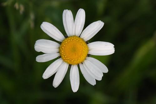 Daisy... :)
