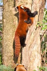 2010-11-16-13h48m01.272P0930 (A.J. Haverkamp) Tags: zoo rotterdam blijdorp redpanda dierentuin kleinepanda diergaardeblijdorp httpwwwdiergaardeblijdorpnl canonef100400mmf4556lisusmlens