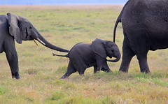 tender moments...(#2) ('Carmen' {catching up!}) Tags: africa elephant mammal dof play kenya bokeh compassion siblings depthoffield safari savannah africanelephant amboseli gamedrive elephantfamily babyelephant largestlandmammal powerandgrace