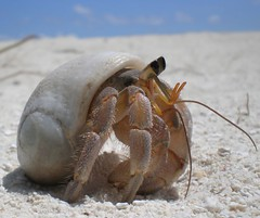 Drunken Hermit Crab (i b u) Tags: travel holiday tourism beach bar hermitcrab digital geotagged photos crab resort adventure shutter drunken destination leisure ibrahim maldives ibu ih maldive geotagging blueribbonwinner supershot maldivianphotographer maldivianphotography abigfave maldiven ibumohd intrustingness ibuphotoscom ibuworkscom ibuworks ibusadventure maldivesibusadventure ibusblog ibusdiary maldivesphotography maldivesholidaydestination holidayinmaldivestravel ibuphotographycom ibphotographycom maldivesphotographer