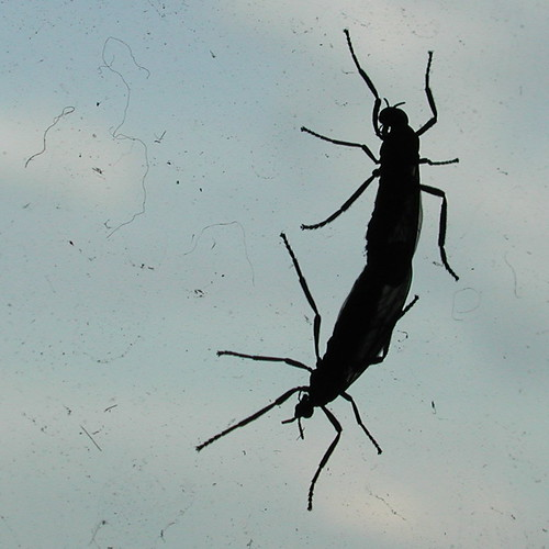 Love Bugs in Silhouette