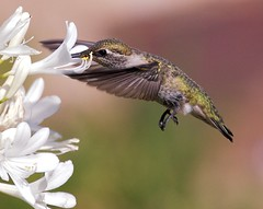 Beauty in Flight (Don Baird) Tags: stilllife bird nature hummingbird naturesfinest blueribbonwinner flickrsbest specanimal avianexcellence heartawards