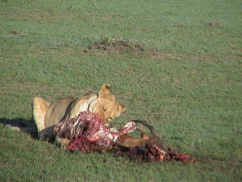 Mara Lion Kill