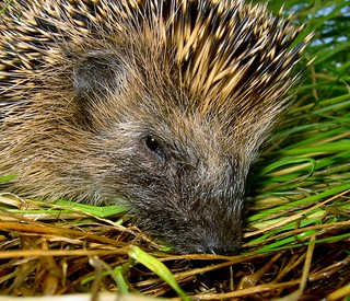 Igel.......Hedgehog