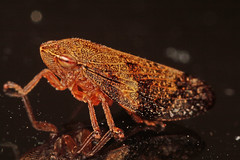 """Common Froghopper (Philaenus spumariu(1) • <a style=""""font-size:0.8em;"""" href=""""http://www.flickr.com/photos/57024565@N00/953889753/"""" target=""""_blank"""">View on Flickr</a>"""