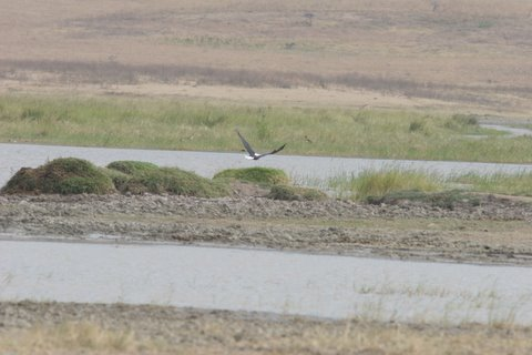 African Fishing Eagle taking off from river