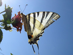 Bacio (japeye) Tags: flower macro fleur colors butterfly kiss couleurs papillon mariposa fiore contrejour bacio farfalla backlighting japeye