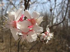 با یه گل بهار نمیشه (A.T.E.F.E.H) Tags: بهار گل شکوفه عاطفه عاطی شهشهانی