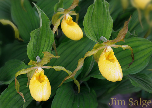 Yellow Lady Slipper Colony