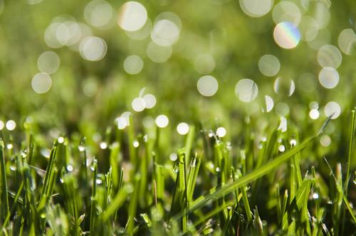 フリー写真素材, 花・植物, イネ科, 芝生, 雫・水滴, グリーン,