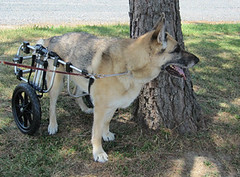 German Shepherd Dog Wheelchair (K9carts) Tags: dog pet shepherd wheelchair canine disk german cart disease handicapped wheelchairs degenerative myelopathy k9carts k9cart intervertebral
