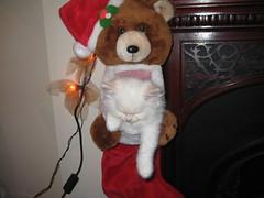 IMG_0856 (RuthieGledhill) Tags: kittens ruth ragdoll gledhill ruthiegledhill ruthiefranks