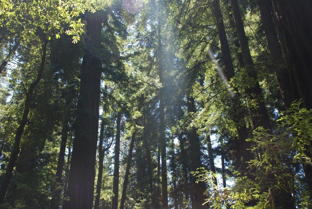 redwoods and light