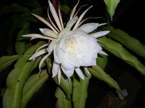 Desert Rose 4