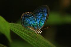 Costa Rica (joeksuey) Tags: costa butterfly la rainforest center rica virgen satyr 2010 tirimbina glasswinged joeksuey