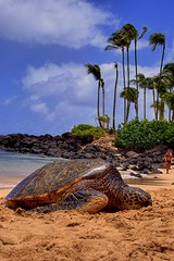 Turtles finally arrive (harogi) Tags: hawaii turtles northshore herradura naturesfinest supershot flickrsbest impressedbeauty superaplus aplusphoto harogi haroldherradura haroldgherradura c2007haroldgherraduraallrightsreserved