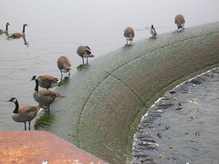 Geese on Spillway