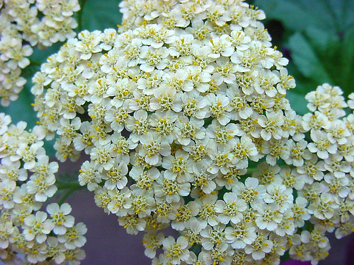 Yarrow, close