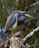 tricolor heron in breeding plumage (key lime pie yumyum) Tags: bird heron delete2 florida save3 delete3 save7 save8 delete save2 save9 save4 everglades save5 save10 save6 corkscrewswampsanctuary