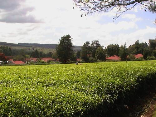Kericho Tea Estates