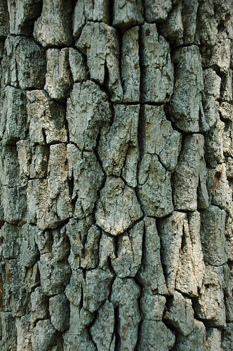 Bark of Black Gum (Nyssa sylvatica), NC Arboretum
