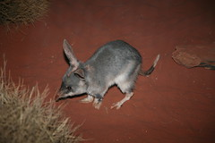 Bilby (Macrotis lagotis) Threatened Species (Michael J. Barritt) Tags: mammals bilby threatenedspecies macrotislagotis mammalsofaustralia