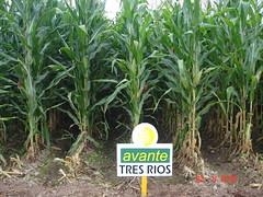 DSC09003 (SEMILLAS AVANTE) Tags: de linea maiz producto