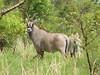 Roan antelope, Pendjari park, Benin