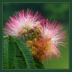 MIMosa (mimbrava) Tags: pink flowers flower green leaves interesting bravo mimbrava arr mimosa 78 allrightsreserved excellence naturesfinest albizia albiziajulibrissin albiziajulibrissindurazz supereco mimeisenberg mimbravastudio