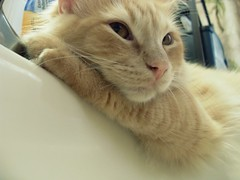 I Love the Sink (ZoeTaylor) Tags: orange white face cat gold golden amber eyes feline sink kitty buff laying oreengeness