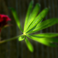 Morning (Nick Kenrick.) Tags: summer blur flores flower macro green leaf petals spring flora soft erotic romance sensual petal bouquet scent erotique zedzap
