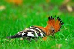 Hoopoe's crest (jeremyhughes) Tags: bird birds southafrica nikon explore cape d200 nikkor hoopoe knysna tc14eii jeremyhughes nikond200 300mmf4d