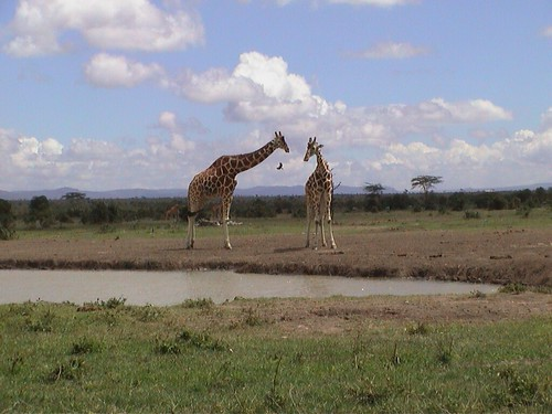 SW Giraffe2
