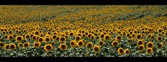 Sunflowers (Sara Povia) Tags: field country sunflowers umbria panoramicview 1mill sfide ysplix photoamatori sfidephotoamatoriwinner nginationalgeographicbyitalianpeople