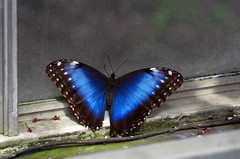 Blue Morpho Butterfly (` Toshio ') Tags: blue macro window gardens butterfly insect maryland wheaton brooksidegardens bluemorpho toshio naturesfinest wingsoffancy mywinners superaplus aplusphoto superhearts