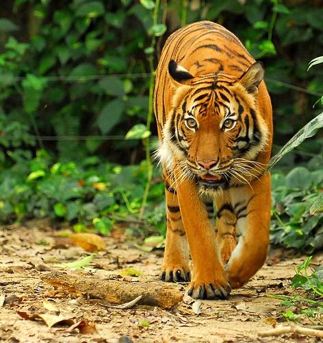 馬來亞虎;攝影:zambase