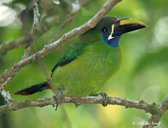Blue-throated Toucanet (Jim Scarff) Tags: costarica monteverde aulacorhynchusprasinus toucanet bluethroatedtoucanet aulacorhynchuscaeruleogularis aulacorhynchus
