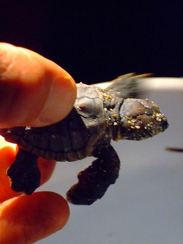 sea turtle 026