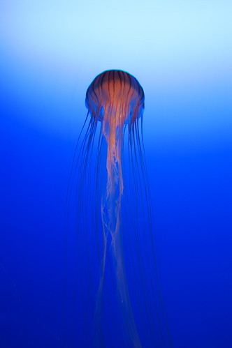 PICT5048/Brown jellyfish