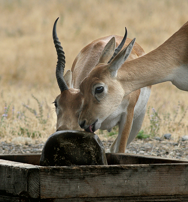 Black Buck Sharing Salt Lick