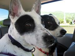 IMG_0290.JPG (MissMarnie) Tags: ocean blackandwhite rescue dog pet white black beach oregon puppy fun coast mutt thea panda play shore cattledog doggy bordercollie pup fetch heeler